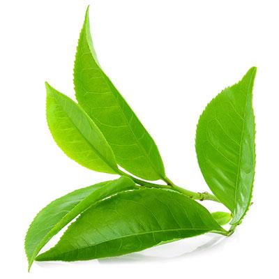 Pu-erh tea support immune health